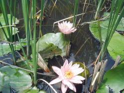 とんぼ池のハス